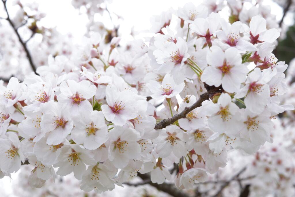 【レポート】クラウドットのお花見しました。
